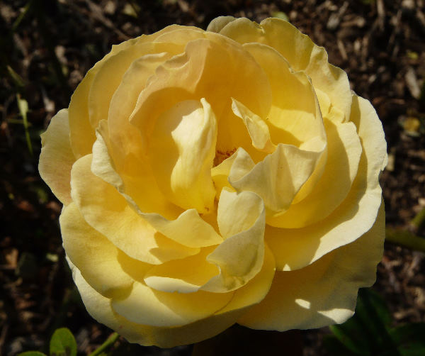 Rosa 'Candlelight ™'