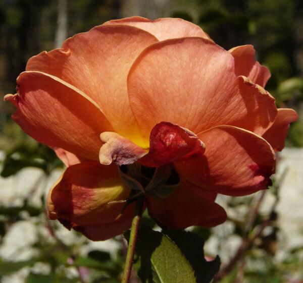 Rosa 'Tatton'