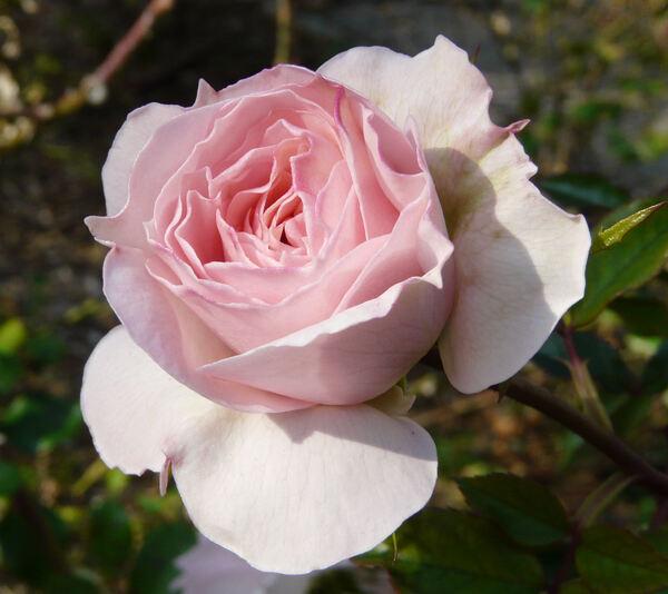 Rosa 'Bremer Stadtmusikanten ®'