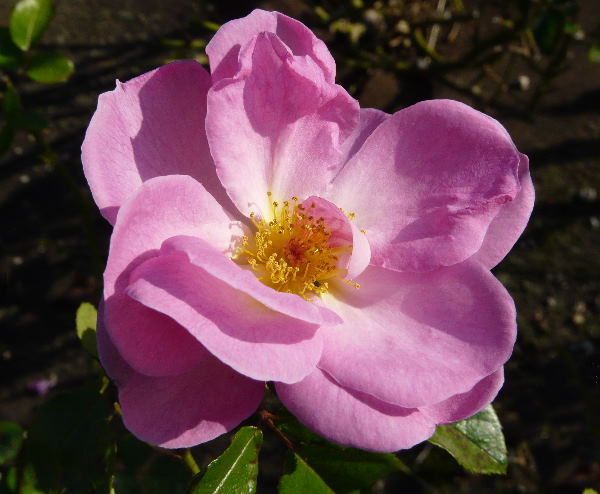 Rosa 'Escapade ®'