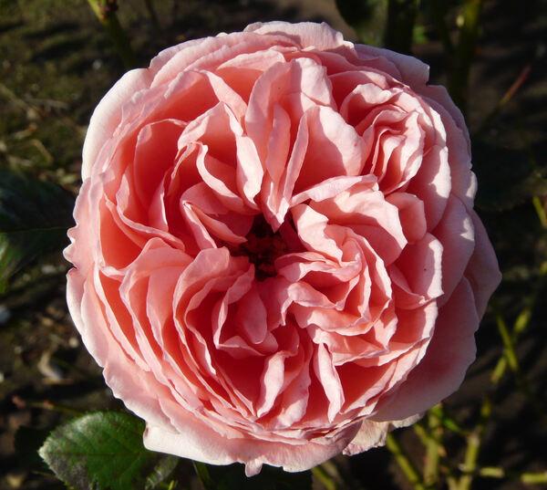 Rosa 'Kimono ®'