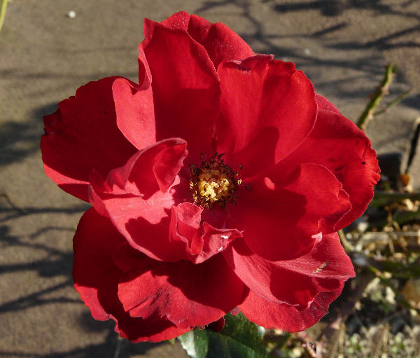 Rosa 'Lilli Marleen ®'