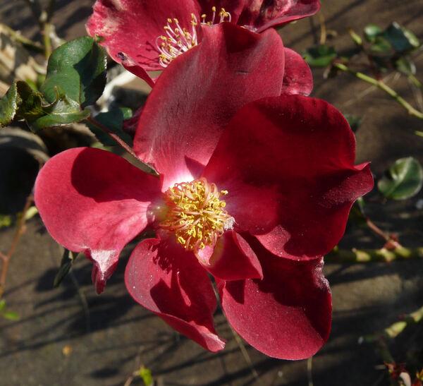 Rosa 'Dusky Maiden'