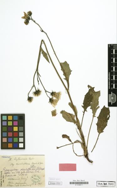 Hieracium liptoviense Borbás