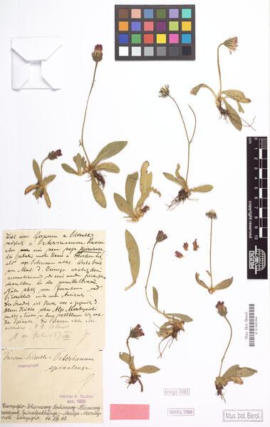 Pilosella peteriana (Käser) Holub