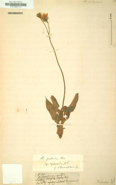 Hieracium plantagineum (Arv.-Touv.) Arv.-Touv. subsp. gapense Zahn