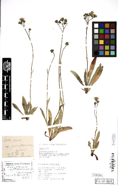 Pilosella sulphurea (Döll) F.W.Schultz & Sch.Bip.