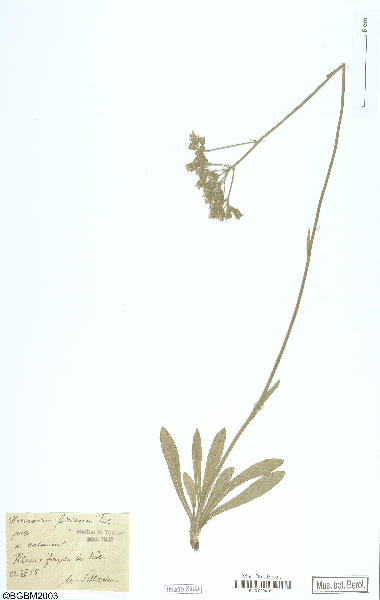 Pilosella ziziana (Tausch) F.W.Schultz & Sch.Bip.