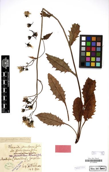 Hieracium dermophyllum Arv.-Touv.