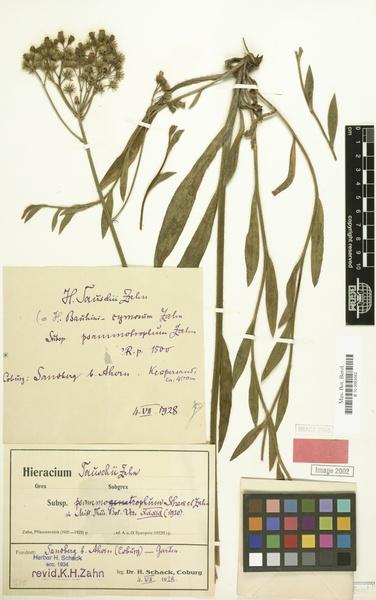 Pilosella densiflora (Tausch) Soják