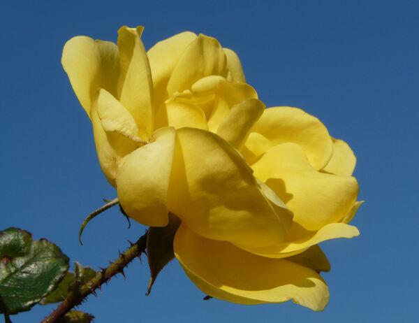 Rosa 'Allgold, Cl.'