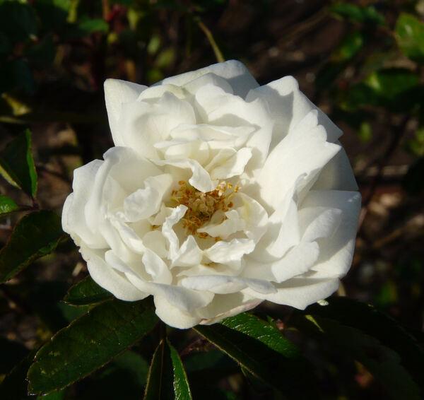 Rosa 'Yvonne Rabier'