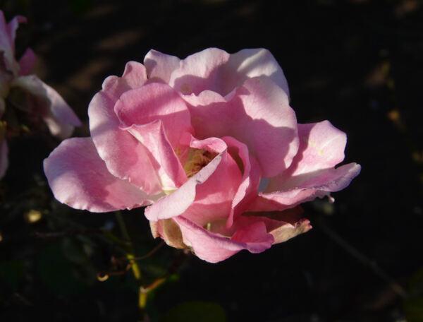 Rosa 'Alice'