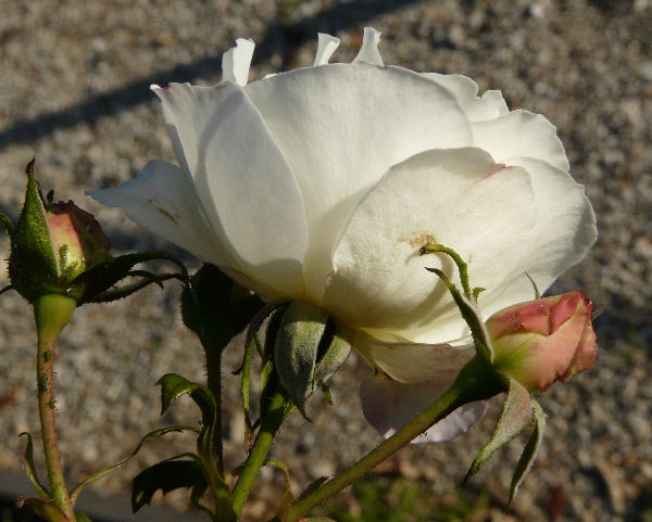Rosa 'Fragrant Wave ™'