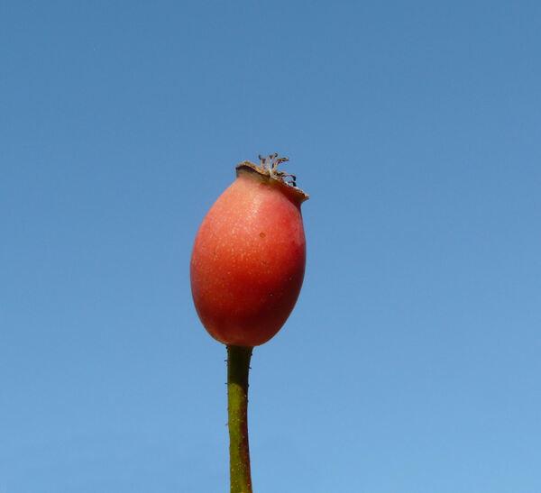Rosa 'Palmengarten Frankfurt ™'