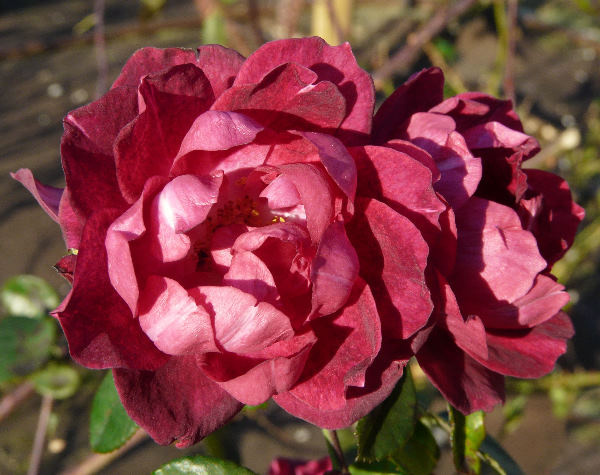 Rosa 'Cardinal Hume ®'