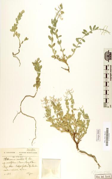 Aethionema marginatum (Lapeyr.) Montemurro