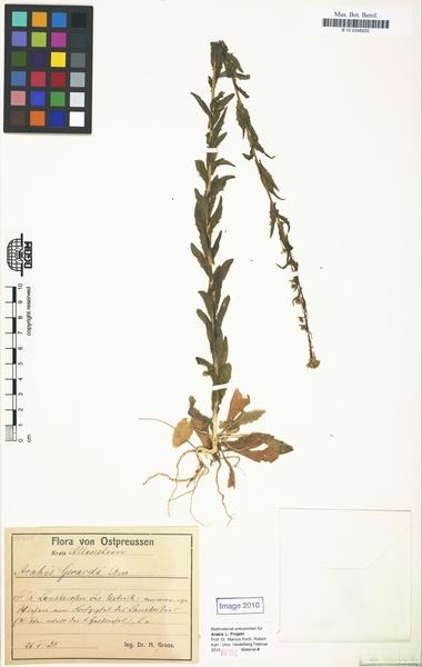 Arabis planisiliqua (Pers.) Rchb.