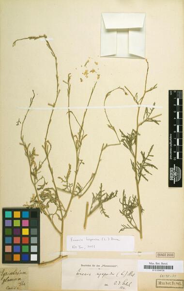 Erucaria hispanica (L.) Druce