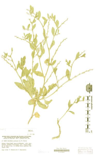 Euclidium syriacum (L.) W.T.Aiton