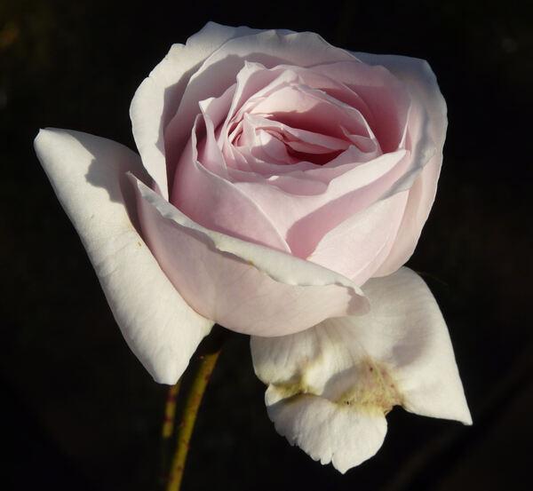 Rosa 'Anna Pavlova'
