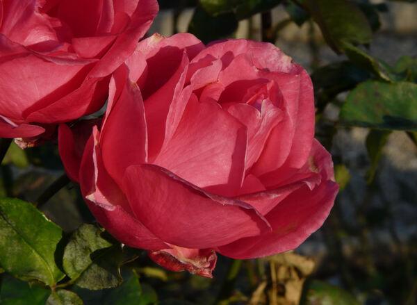 Rosa 'Junior'