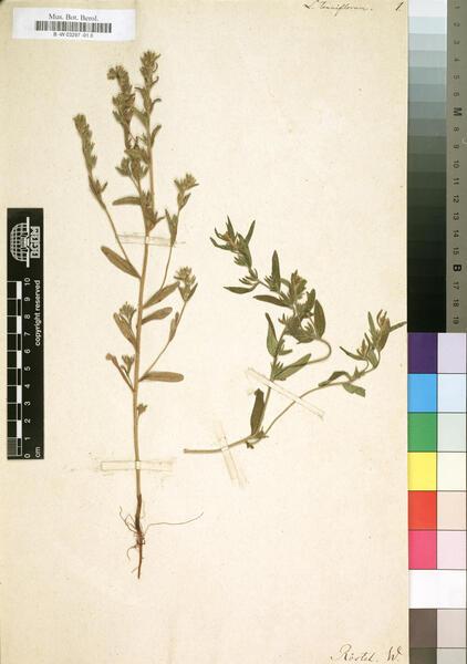 Buglossoides tenuiflora (L.f.) I.M.Johnst.