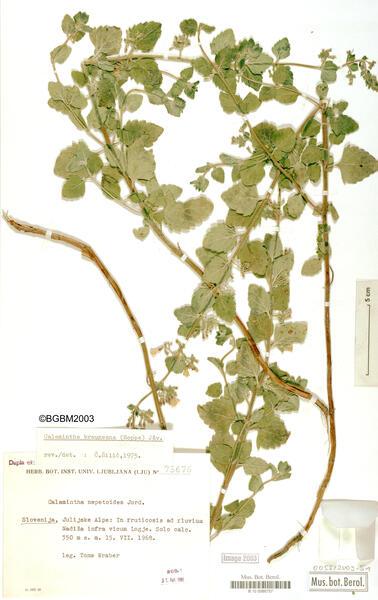Clinopodium einseleanum (F.W.Schultz) Peruzzi & F.Conti