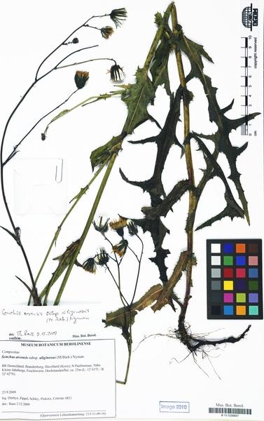 Sonchus arvensis L. subsp. uliginosus (M.Bieb.) Nyman