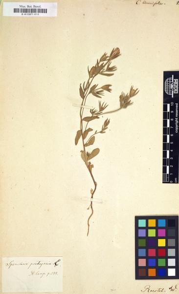 Asyneuma limonifolium (L.) Janch. subsp. limonifolium