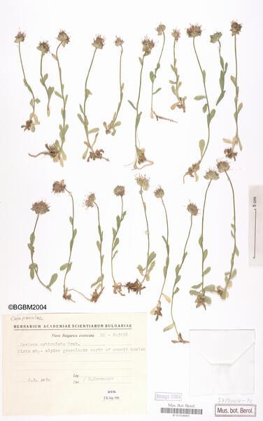 Jasione orbiculata Griseb. ex Velen.