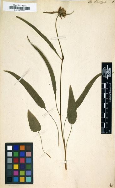 Phyteuma scheuchzeri All. subsp. scheuchzeri