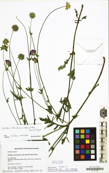 Scabiosa columbaria L. subsp. portae (A.Kern. ex Huter) Hayek