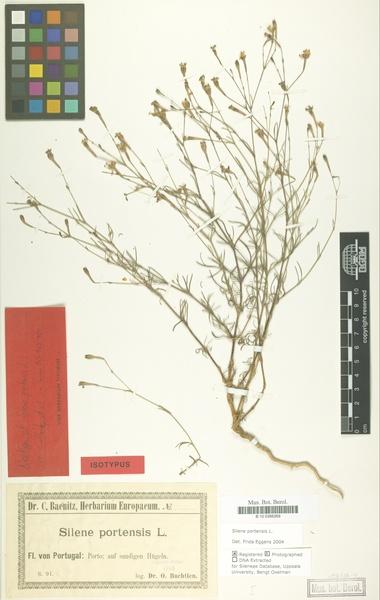 Silene portensis L.