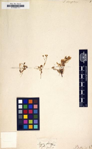 Sedum alsinifolium All.