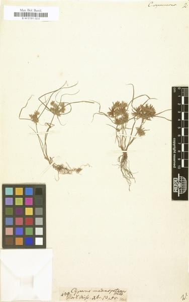 Cyperus squarrosus L.