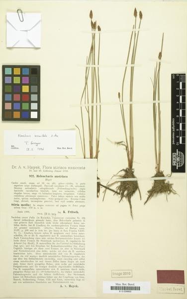 Eleocharis mamillata (H.Lindb.) H.Lindb. subsp. austriaca (Hayek) Strandh.