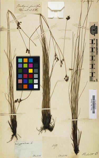 Schoenoplectiella juncoides (Roxb.) Lye