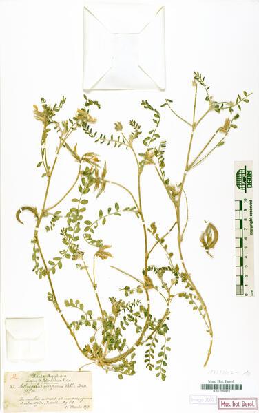 Astragalus peregrinus Vahl subsp. warionis (Gand.) Maire