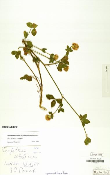 Trifolium setiferum Boiss.