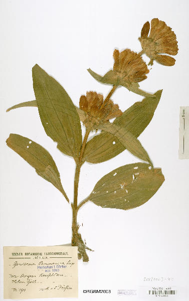 Gentiana pannonica Scop.