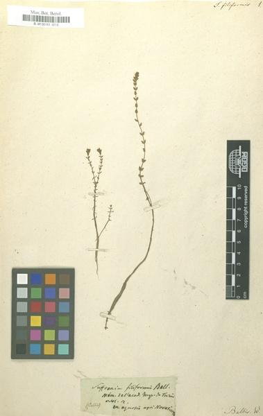 Rotala filiformis (Bellardi) Hiern