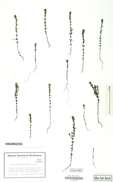 Euphrasia micrantha Rchb.