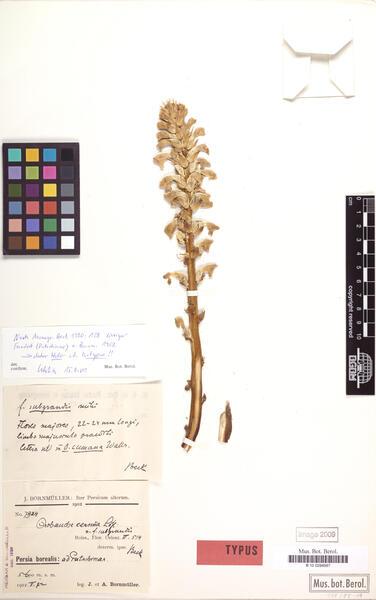 Orobanche cernua Loefl.
