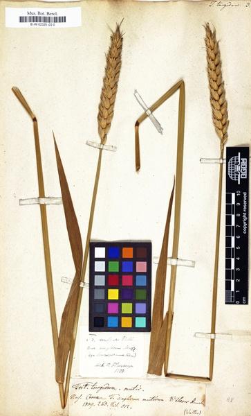 Triticum turgidum L.