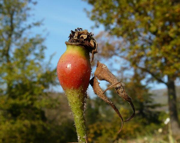Rosa 'Paeonia'