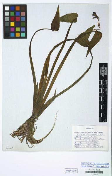 Pontederia korsakowii (Regel & Maack) M.Pell. & C.N.Horn