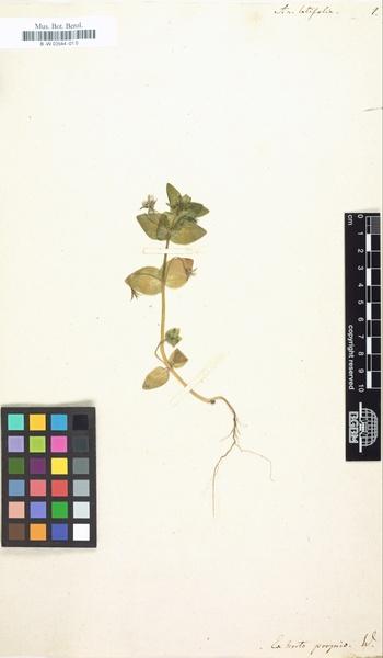 Lysimachia arvensis (L.) U.Manns & Anderb. subsp. latifolia (L.) Peruzzi