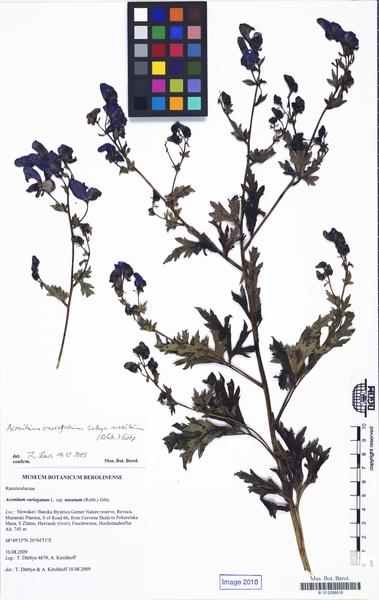 Aconitum variegatum L. subsp. nasutum (Fisch. ex Rchb.) Götz