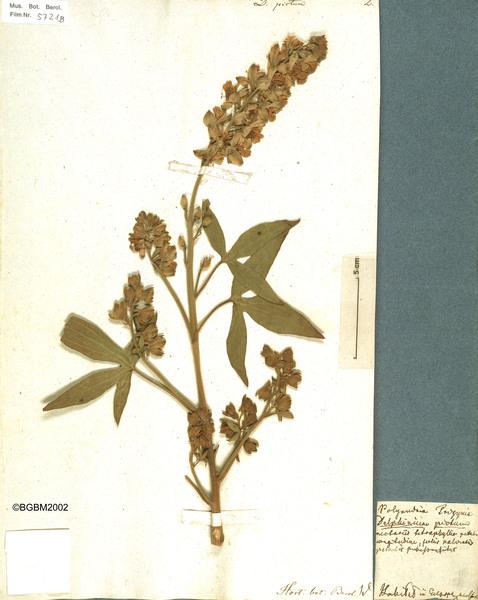 Staphisagria requienii (Dc.) Spach subsp. picta (Willd.) Peruzzi